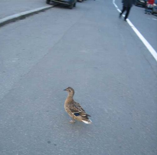 утка- пешеход