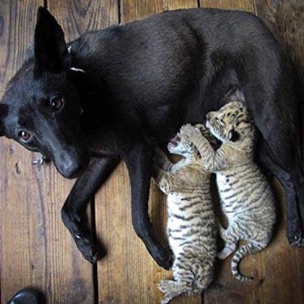 Собака стала приемной матерью